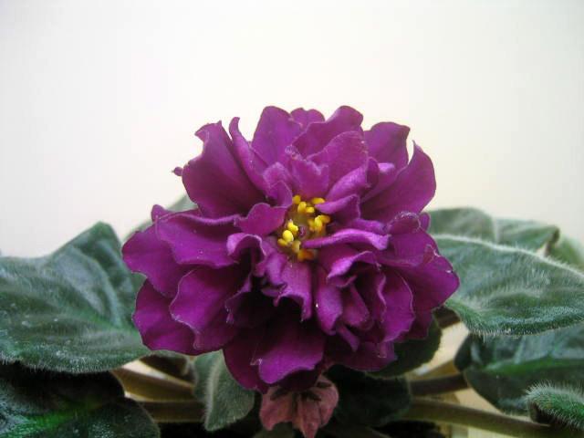 Махровые рубиново малиновые цветы